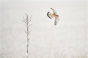 common_kestrel_under_light_snow_by_claudeg-d5nq2d6