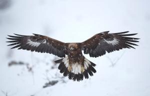 golden_eagle_landing_by_bogdanboev-d8ijq28